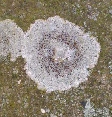 Lichen recorded on a concrete post on the extreme south-western boundary fence of Mill Hill