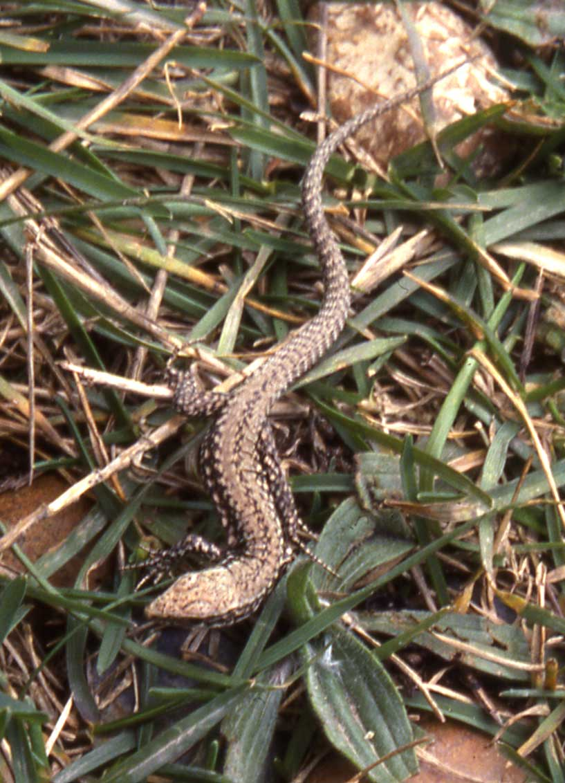 Lizard at Old Fort (Andy Horton)