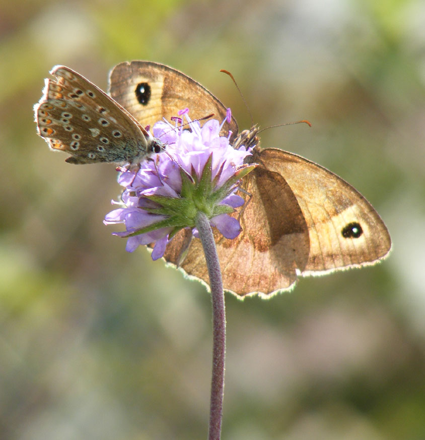 Meadow Brown on Devil's Bit Scabious