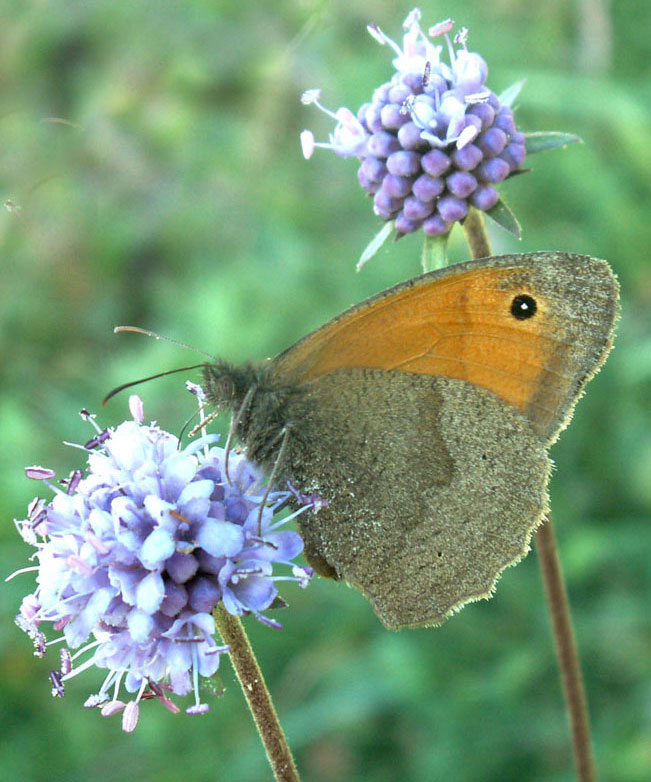 Meadow Brown on Field Scabious