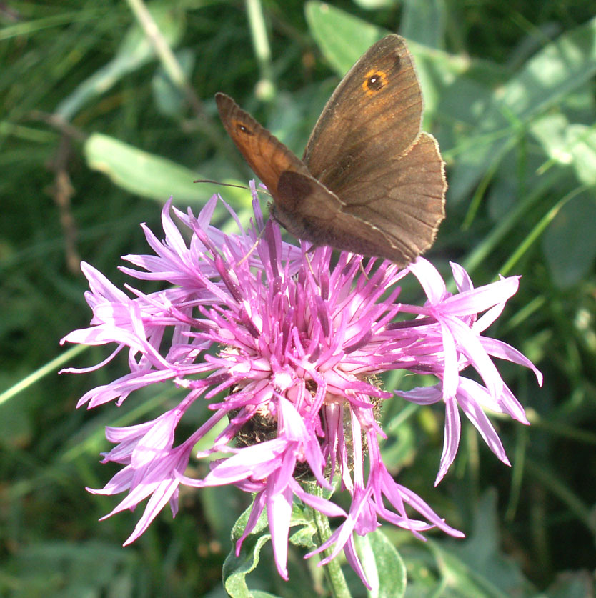 Meadow Brown male on Greater Knapweed on the lower slopes of Mill Hill