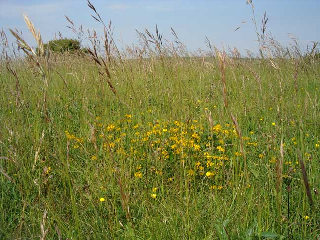 Grasses, Horseshoe Vetch and other vegetation south of the upper car park, Mill Hill, (June 2005)