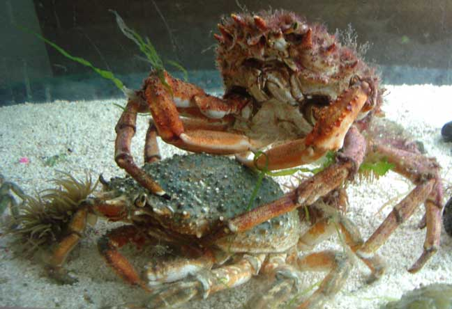 Spider Crabs (the female discovered is underneath the male in this aquarium photograph)
