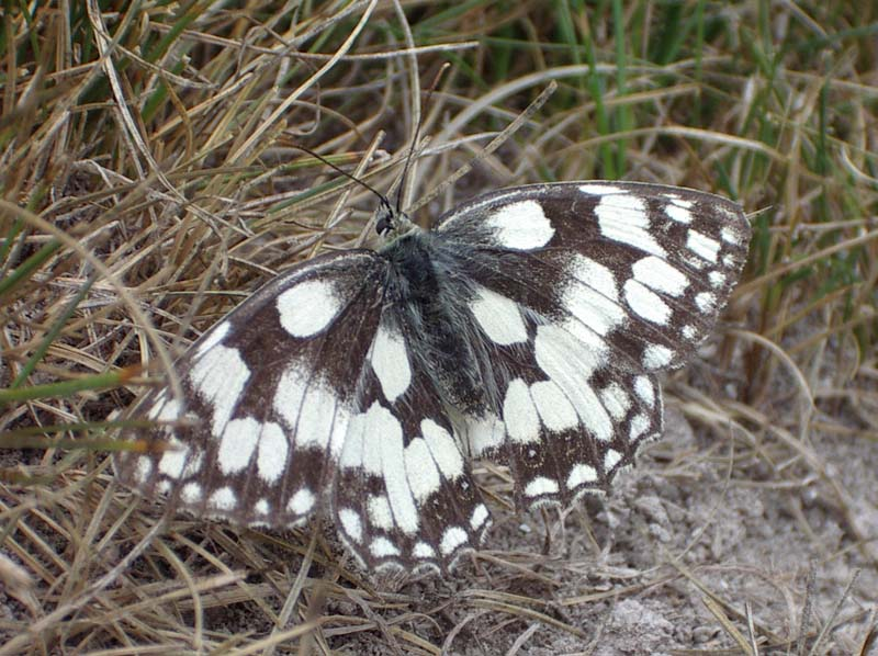 Marbled White Butterfly  (Photograph by Andy Horton)
