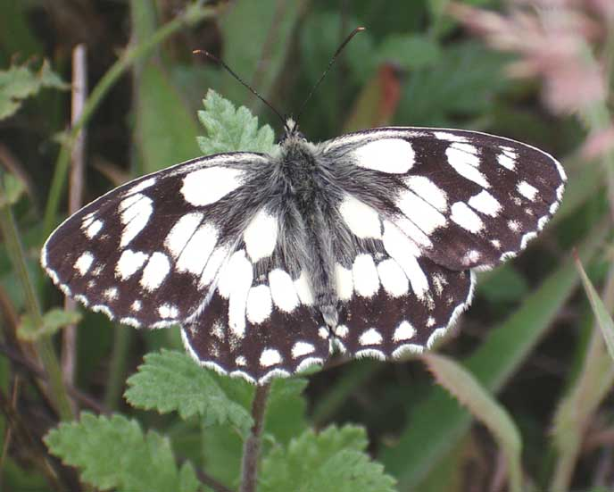 Marbled White Butterfly at Slonk Hill Cutting, 2005