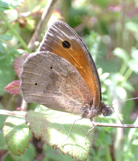 Meadow Brown (larger than the Gatekeeper)