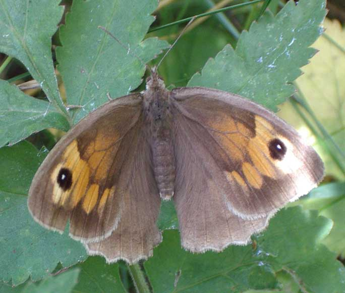 Female Meadow Brown (Photograph by Andy Horton)