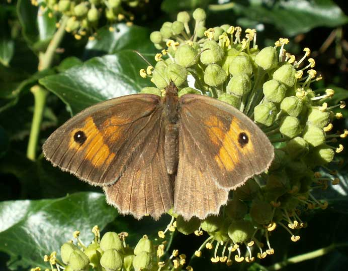 Meadow Brown on Ivy
