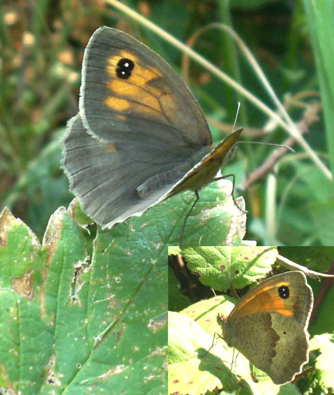 Meadow Brown with the Double Spicks