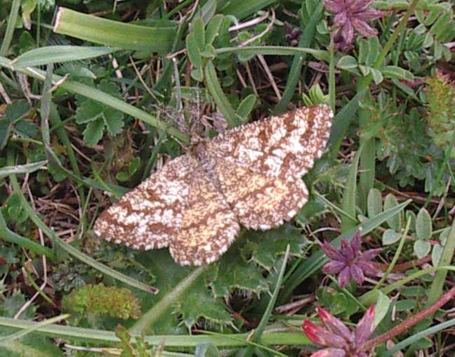 1952 Common Heath Moth flying over the lower slopes of Mill Hill