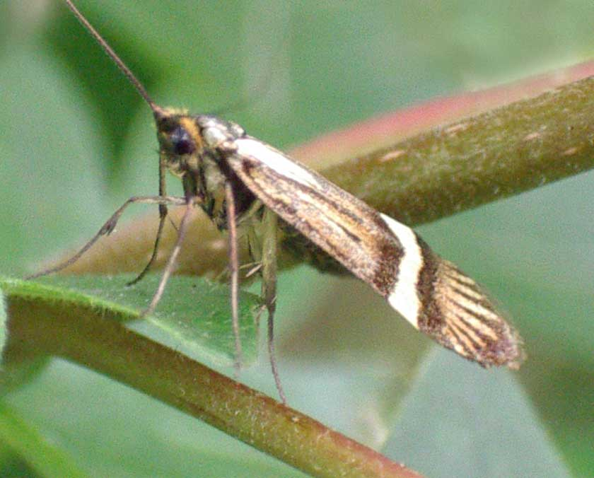 This one is the same moth as the image next left