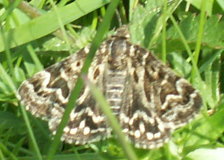 Mother Shipton Moth