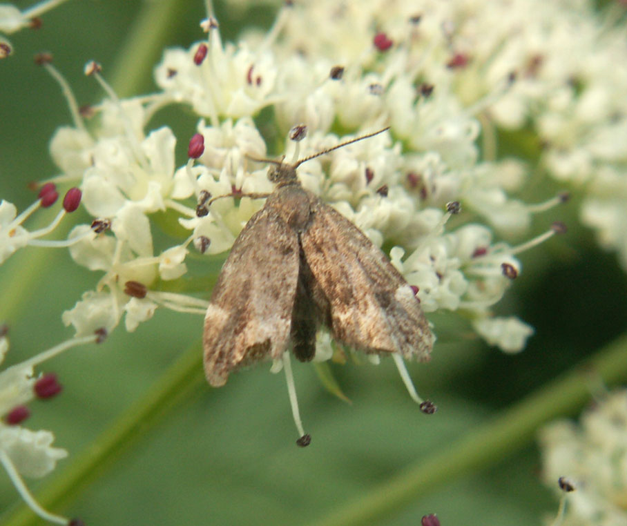 Small Moth on Hemlock Water Dropwort