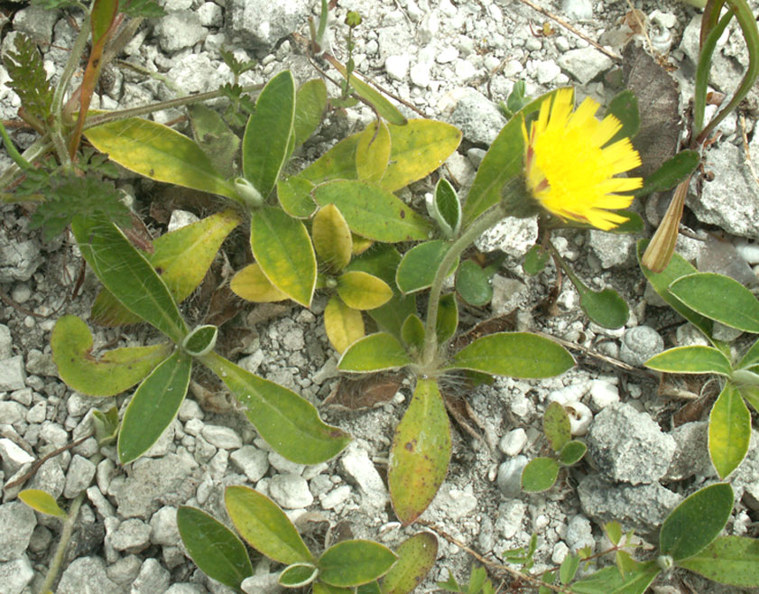 Mouse-eared Hawkweed on the northern bank