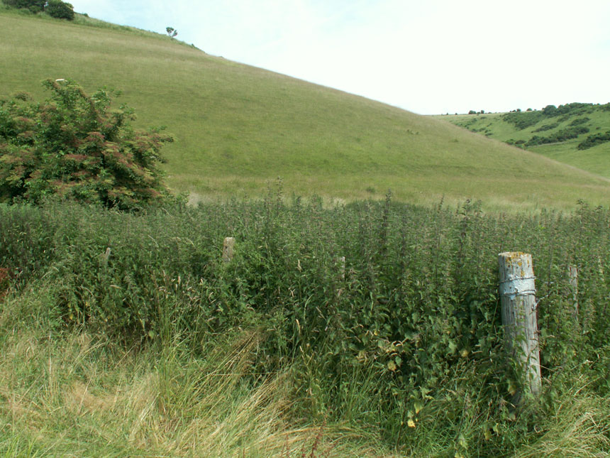 Stinging Nettle patch