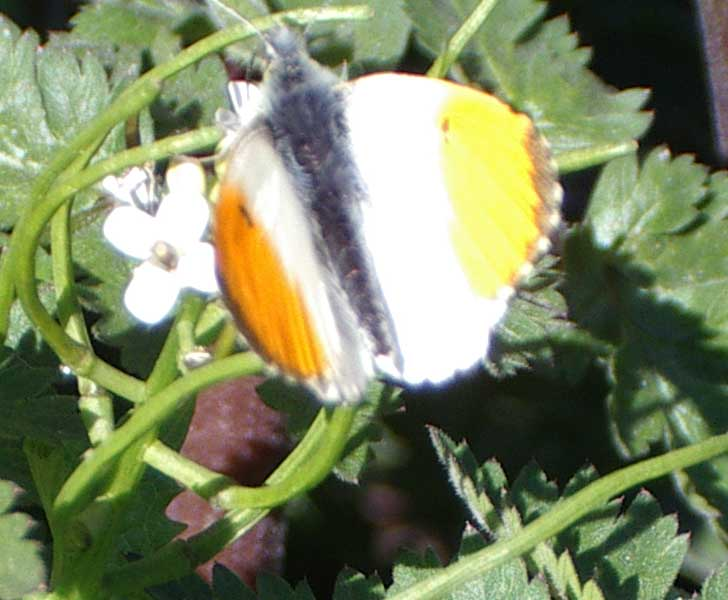 Orange Tip (Photograph by Andy Horton)