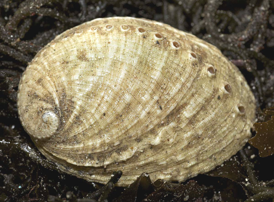 Ormer (Photograph by Richard Lord)