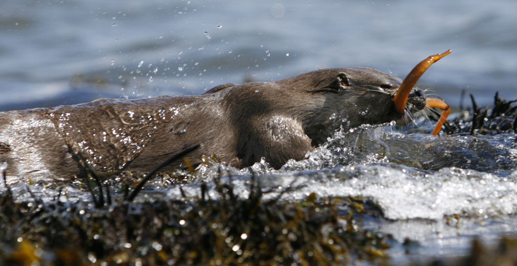 Otter (Copyright Photograph by Nic Davies)