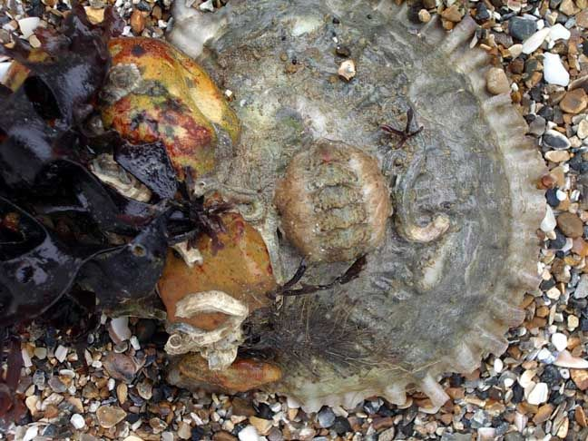 Oyster with Chiton (Photograph by Andy Horton)