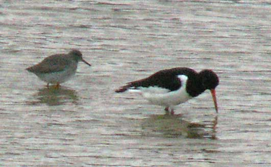 Redshank and Oystercatcher