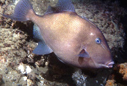 Triggerfish underneath the Palace Pier, Brighton (Photograph by Paul Parsons)