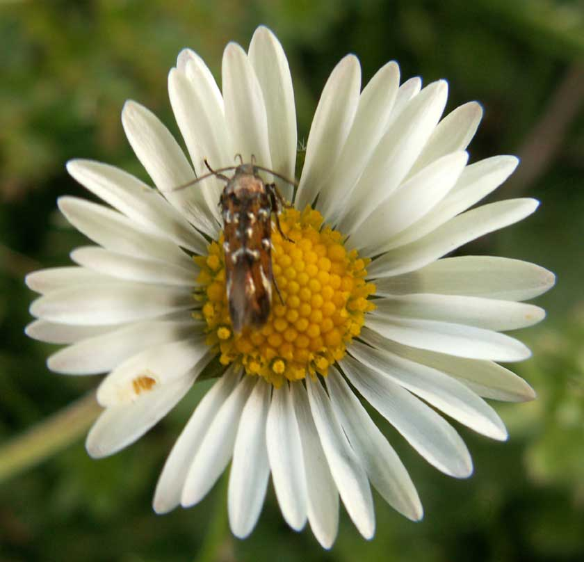 Pancalia micro-moth on a Daisy