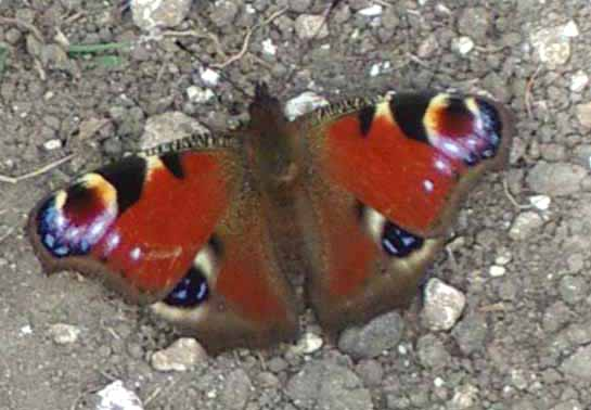 Peacock Butterfly (Photograph by Andy Horton)