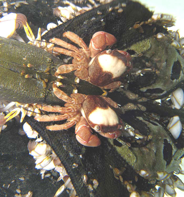 Columbus Crabs, Planes minutus, (Photograph by Richard Lord , Guernsey)