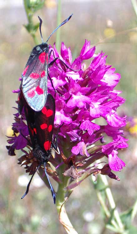 6-spot Burnets on a Pyramidal Orchid