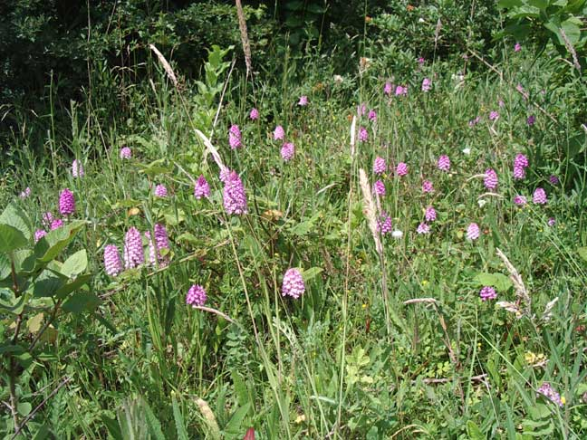 Pyramidal Orchids by the Steyning Road (Old Shoreham)