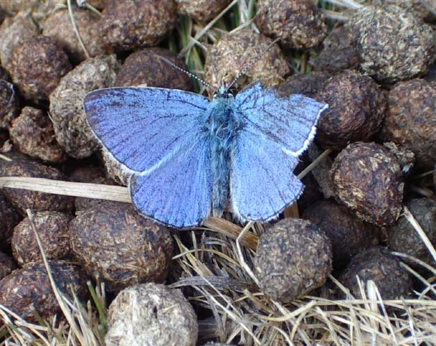 Battered Common Blue Butterfly on rabbit excrement. This could even be an Adonis Blue.