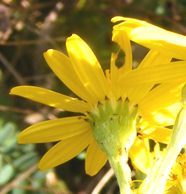 Brown tipped bracts indicate the Common Ragwort on the lower slopes of Mill Hill