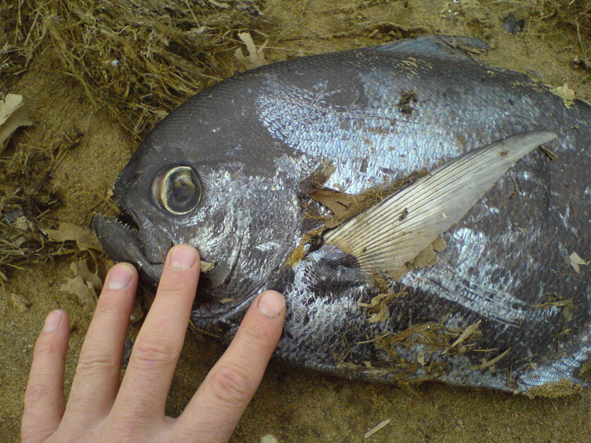 Ray's Bream (Photograph by Mark Missin)