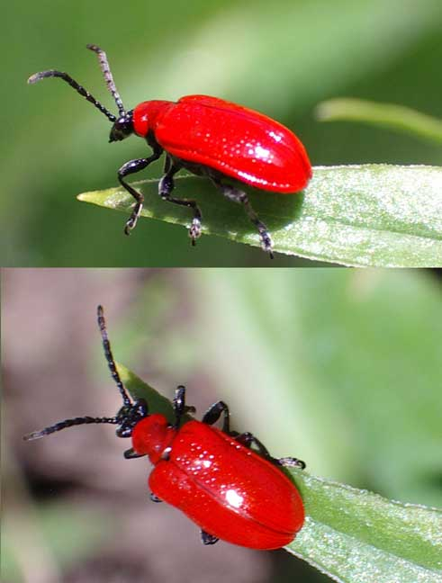 red beetles insects