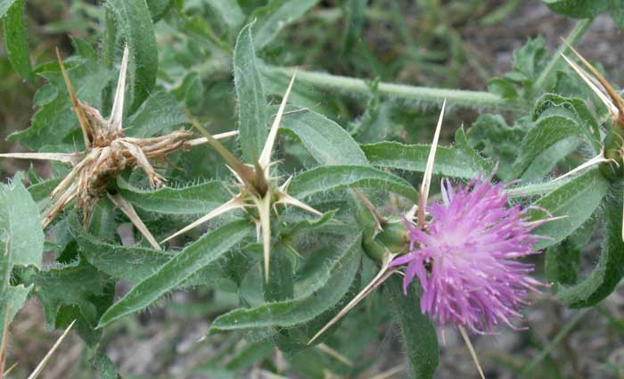 Red Star Thistle
