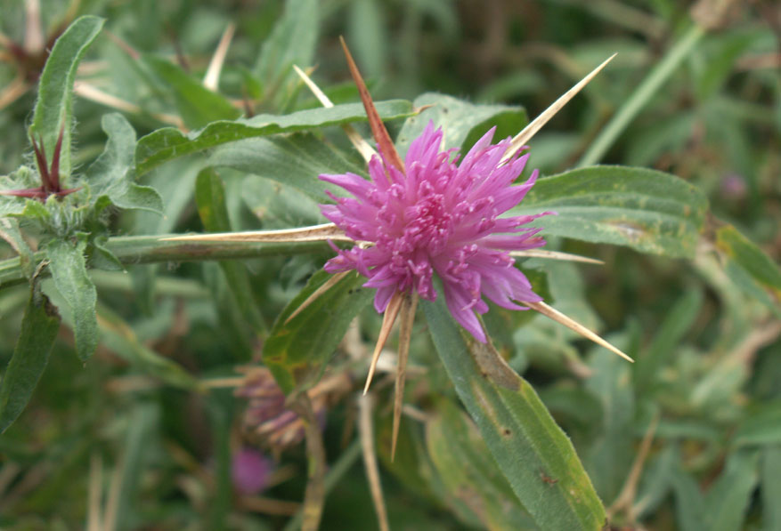 Red Star Thistle (a Knapweed)