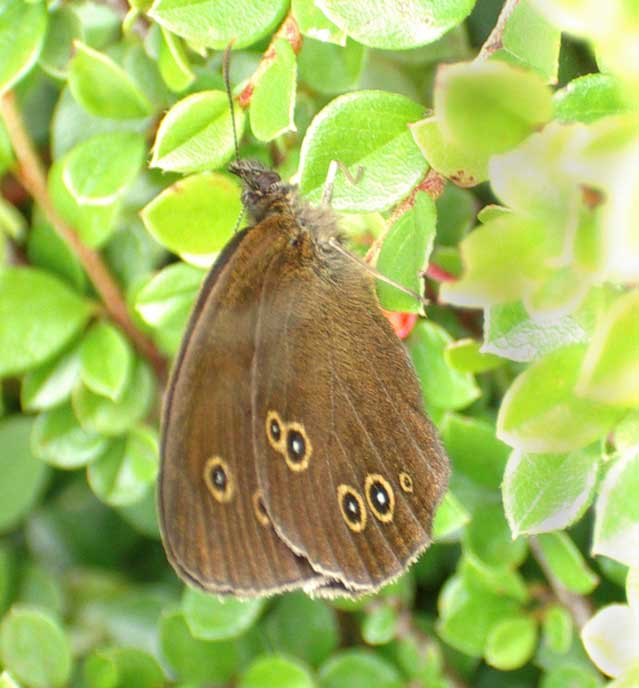 Ringlet Butterfly on Cotoneaster