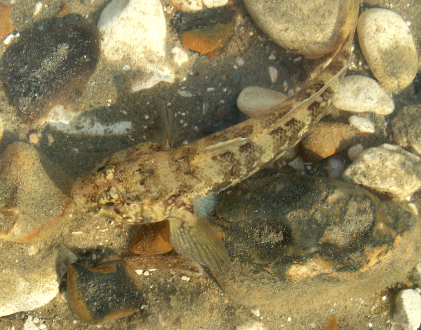 Rock Goby