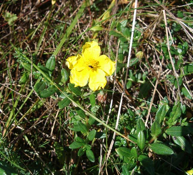 Rock Rose in small clumps on the verge of the bridlepath at Stonechat Junction