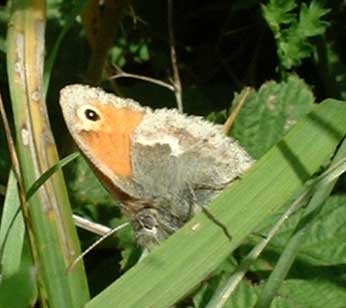 Small Heath (Photograph by Ray Hamblett)