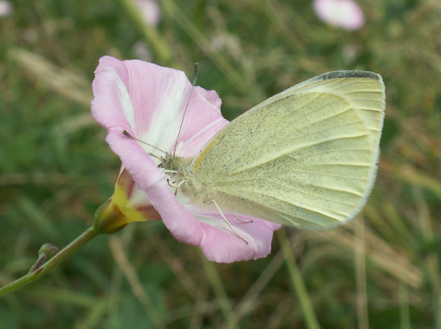Small White Butterfly visiting Field Bindweed