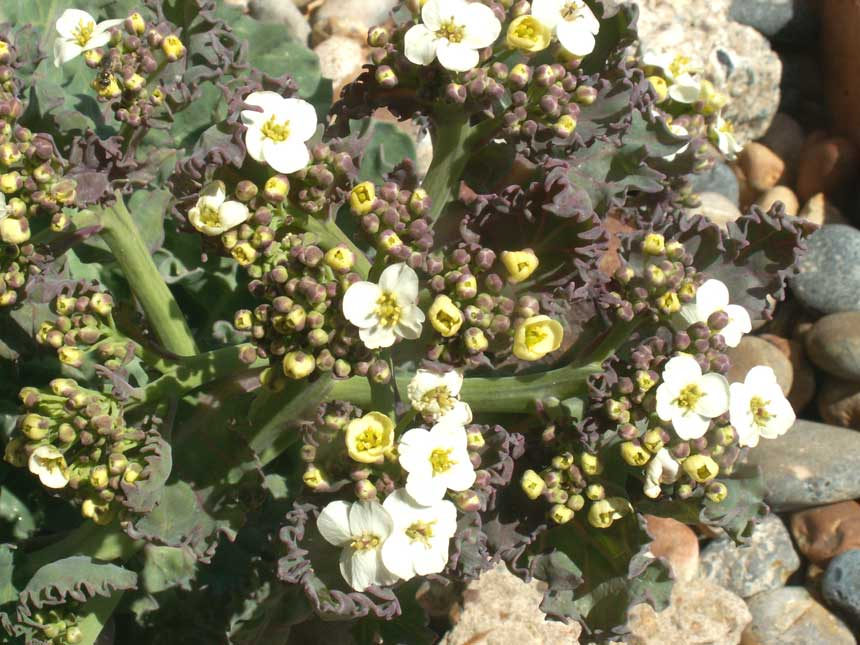 Sea Kale was beginning to flower