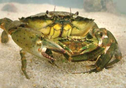 Shore Crab, Carcinus maenas, with its mate (Photograph by Ray Hamblett)