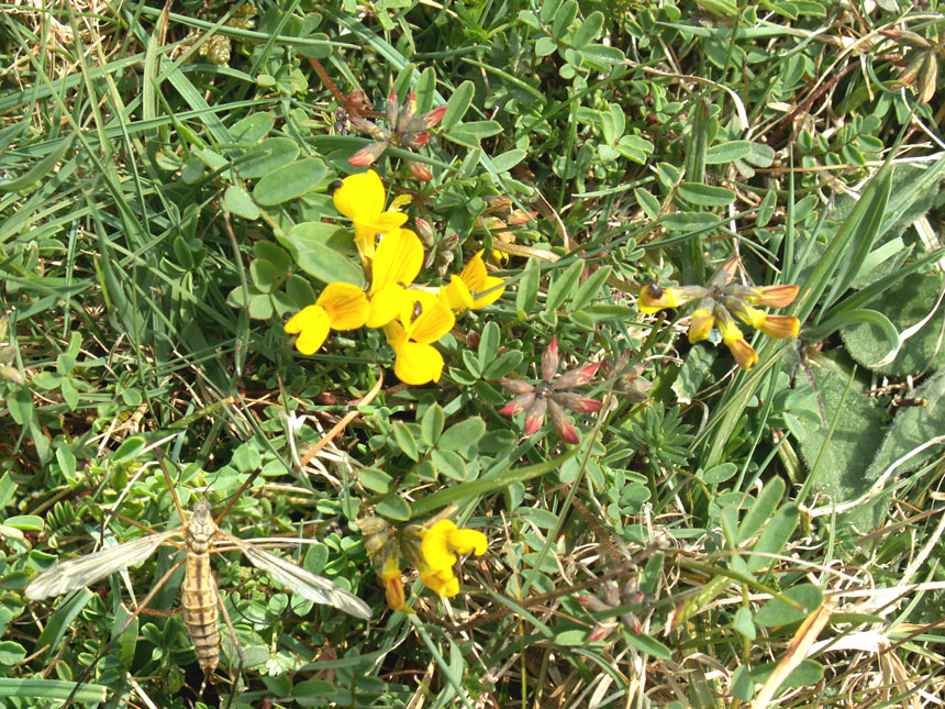 Crane-fly with Horseshoe Vetch