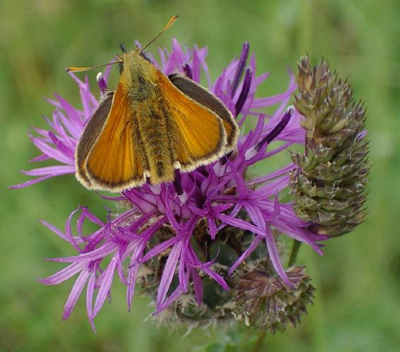 Small Skipper (Photograph by Andy Horton)