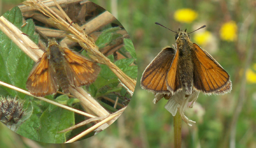 Large Skipper (left) and Small or Essex Skipper (right)