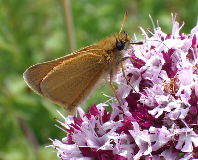 Small Skipper (Photograph by Andy Horton) on Lancing Ring meadows