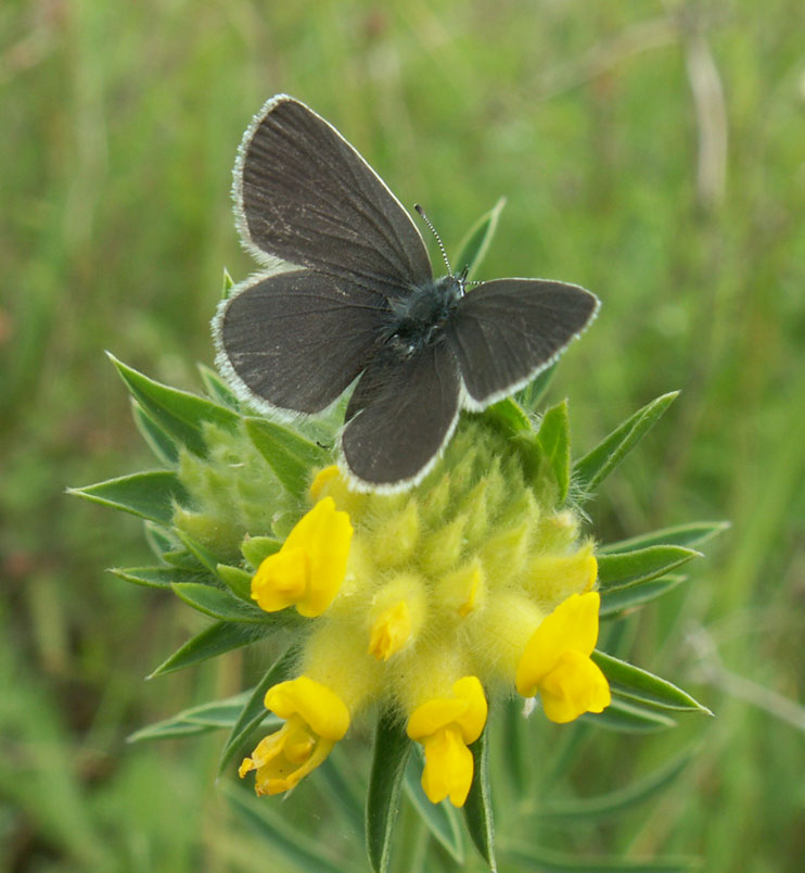 Small Blue on Kidney Vetch