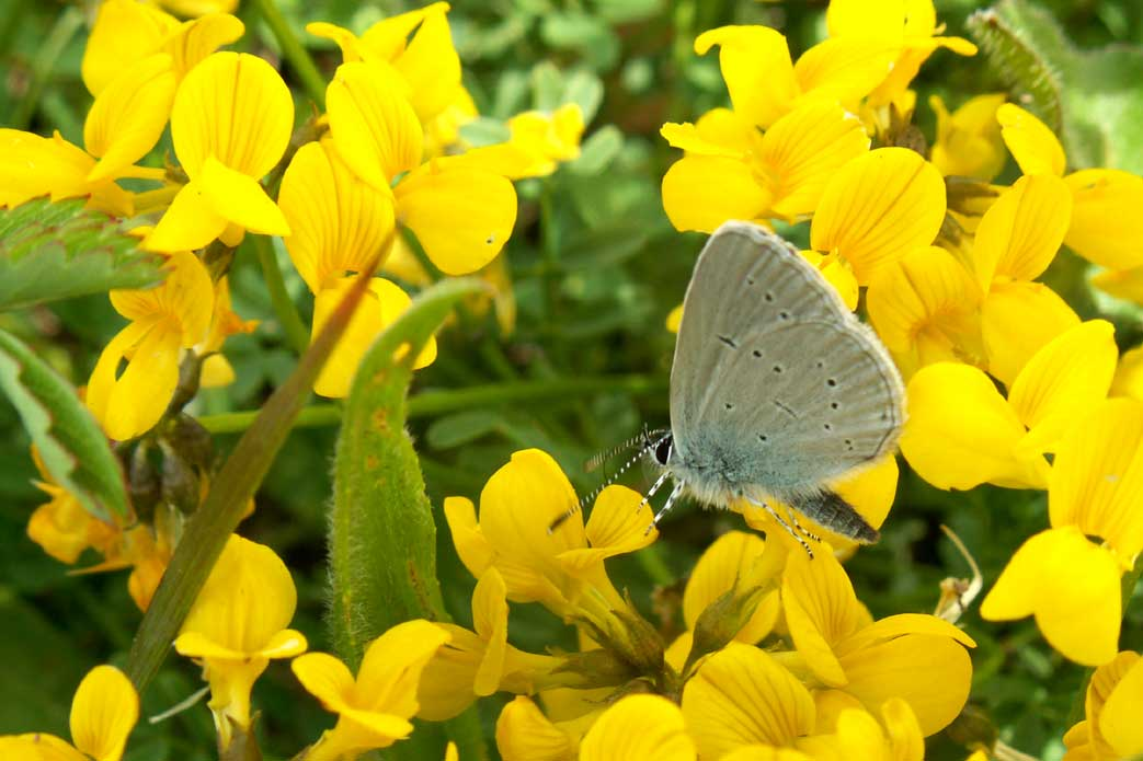 Small Blue on Horseshoe Vetch