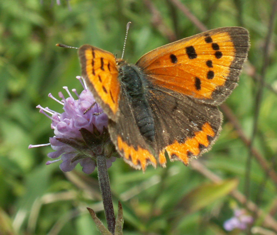Small Copper Butterfly on Devil's Bit Scabious